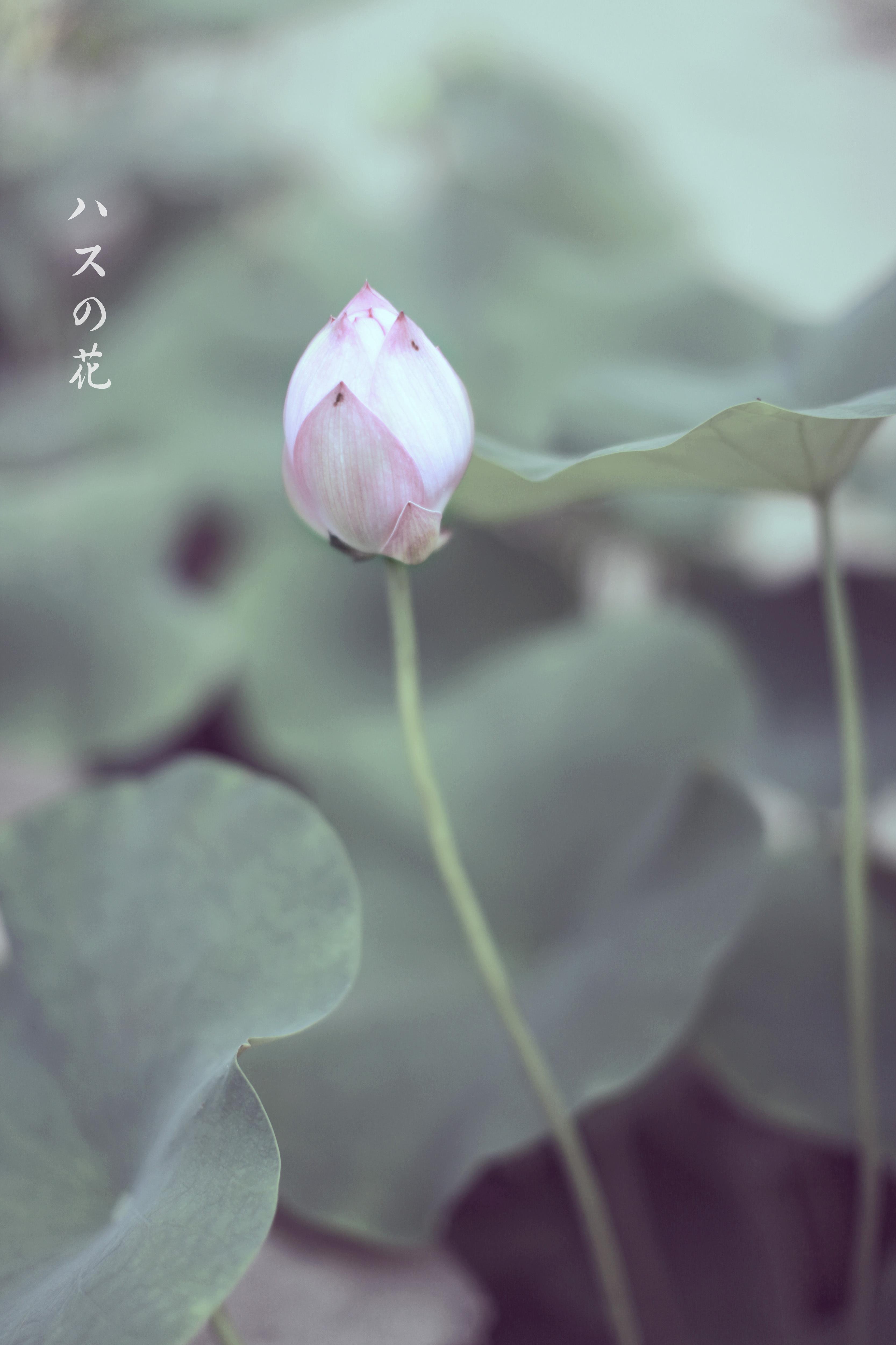 日式小清新-荷花
