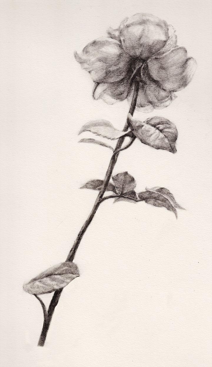 月季花的铅笔画法