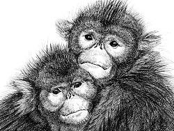 钢笔画【金丝猴】