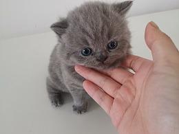 沐米猫舍 103英短纯蓝-性别:公(颜色浅)英国短毛猫