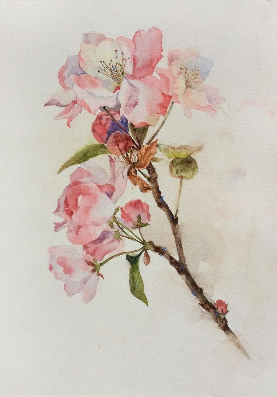 海棠花图片手绘插画
