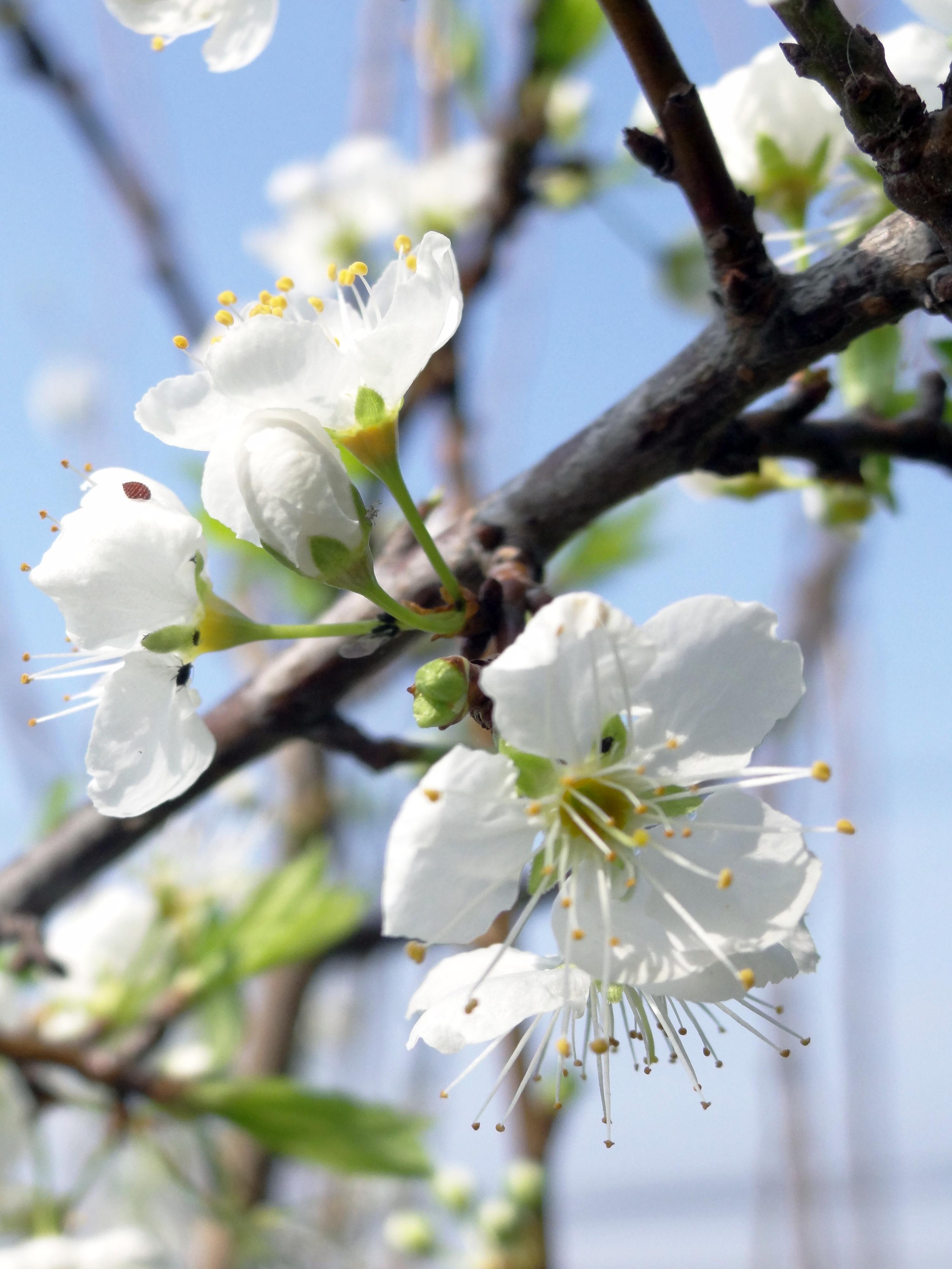 杏花手绘图片彩铅