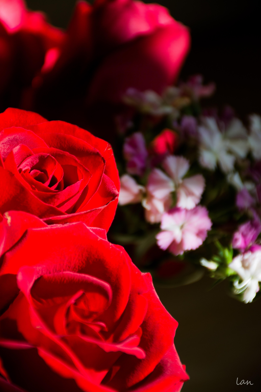 rose花手绘