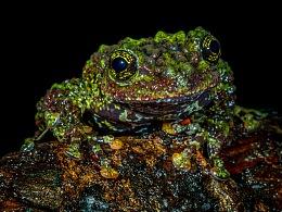 中国动物·两爬之美|伪装大师-棱皮树蛙