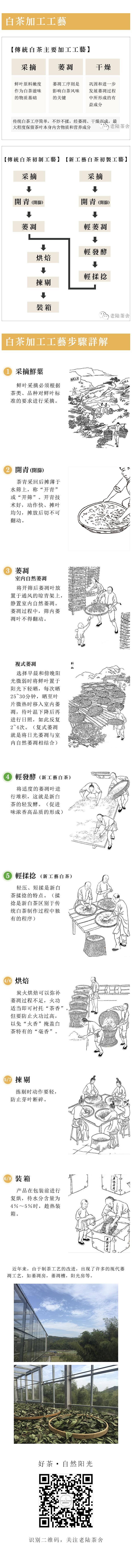 福鼎白茶制作工艺