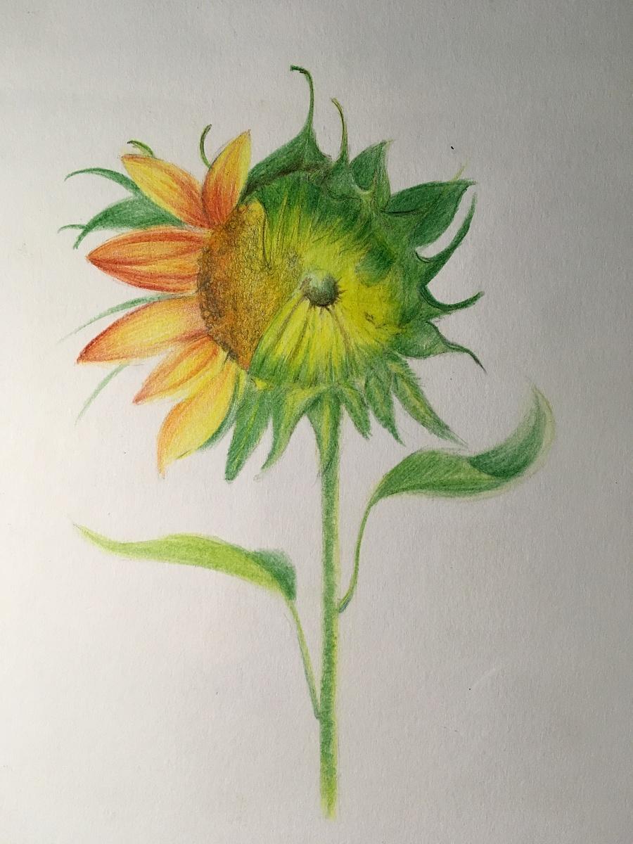 原创作品:手绘彩铅希望之花