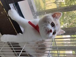 木米猫舍 英短-乳白-公-五粉-右后腿长白条