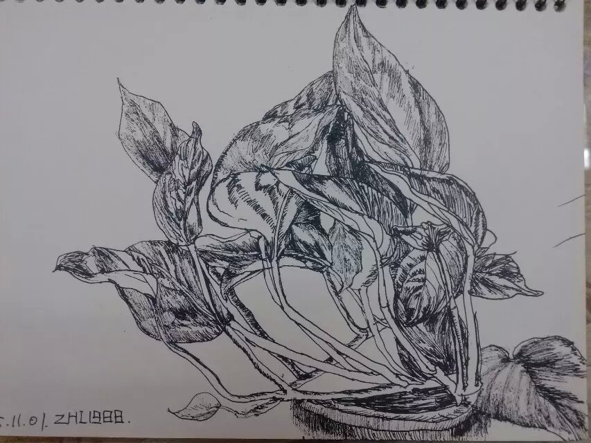 绿萝的手绘图片