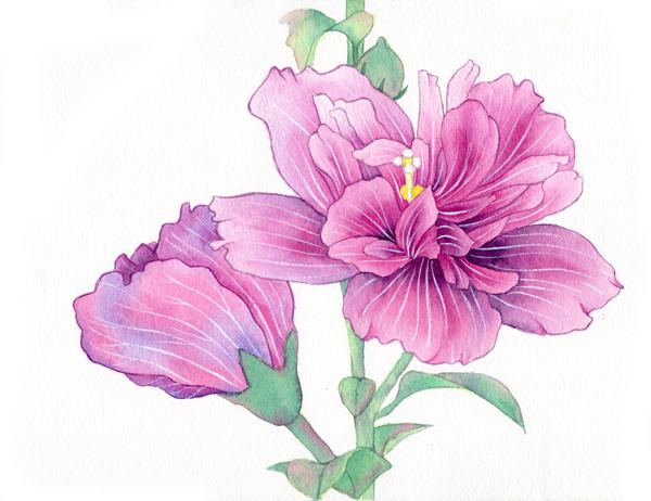 水彩木槿花