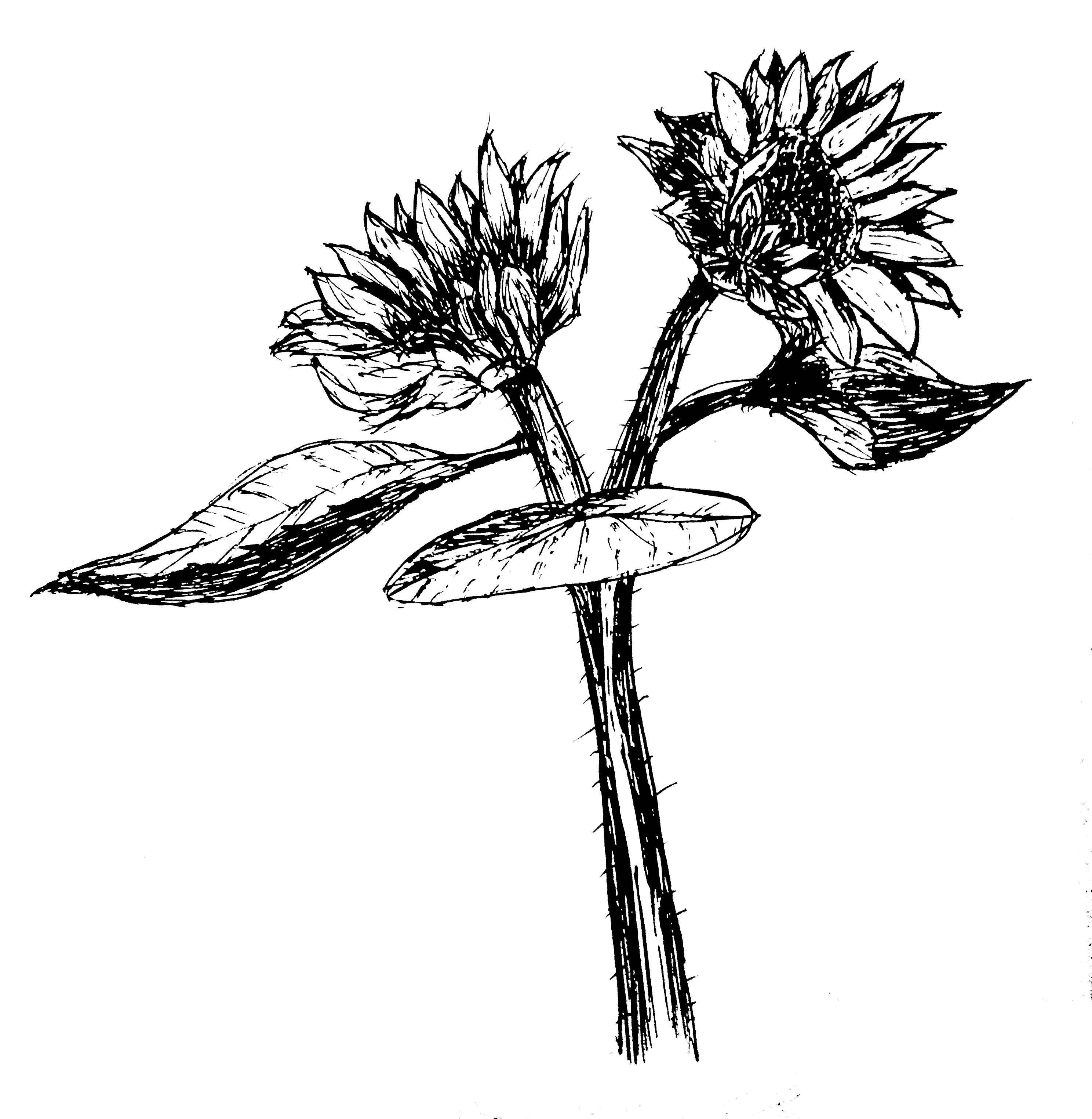 钢笔画花草临摹