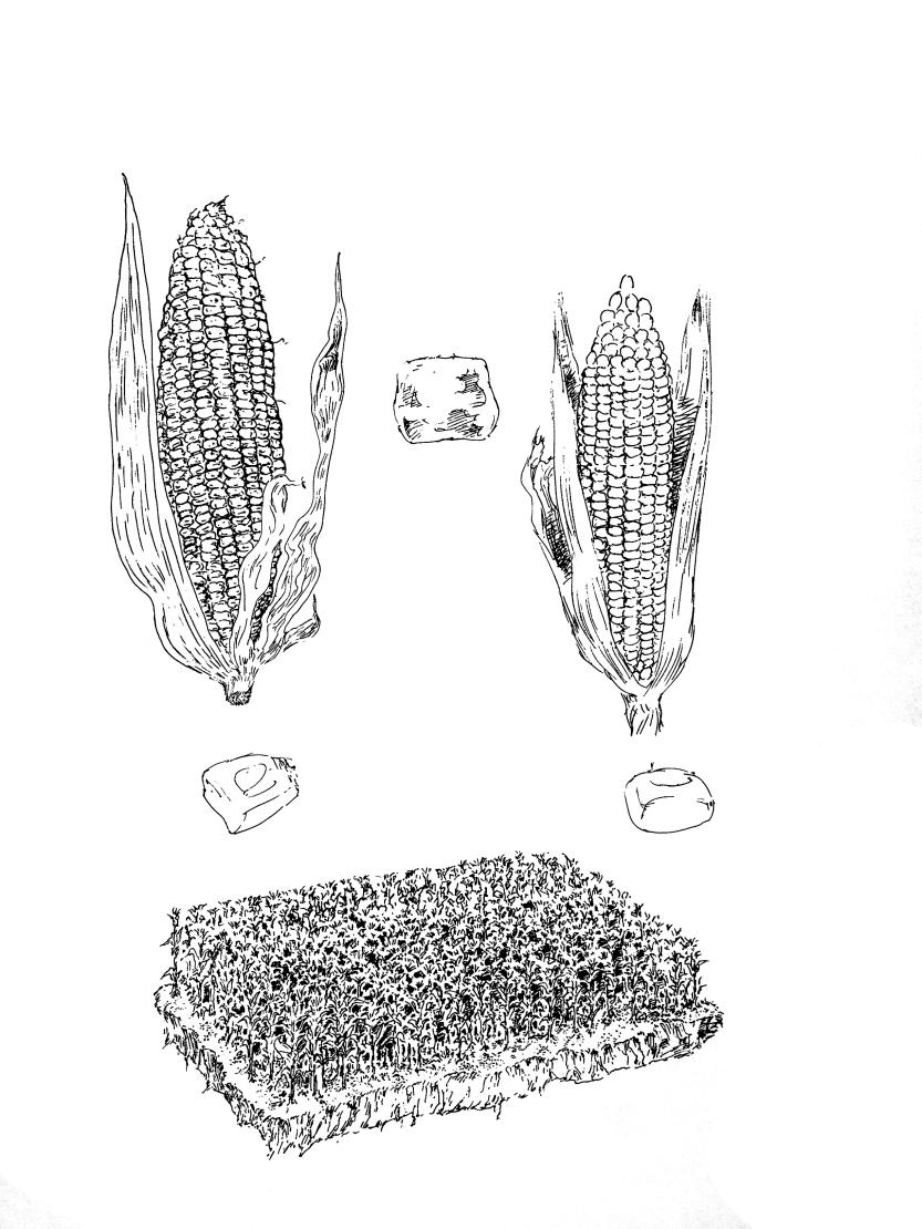 2017-6-26 玉米