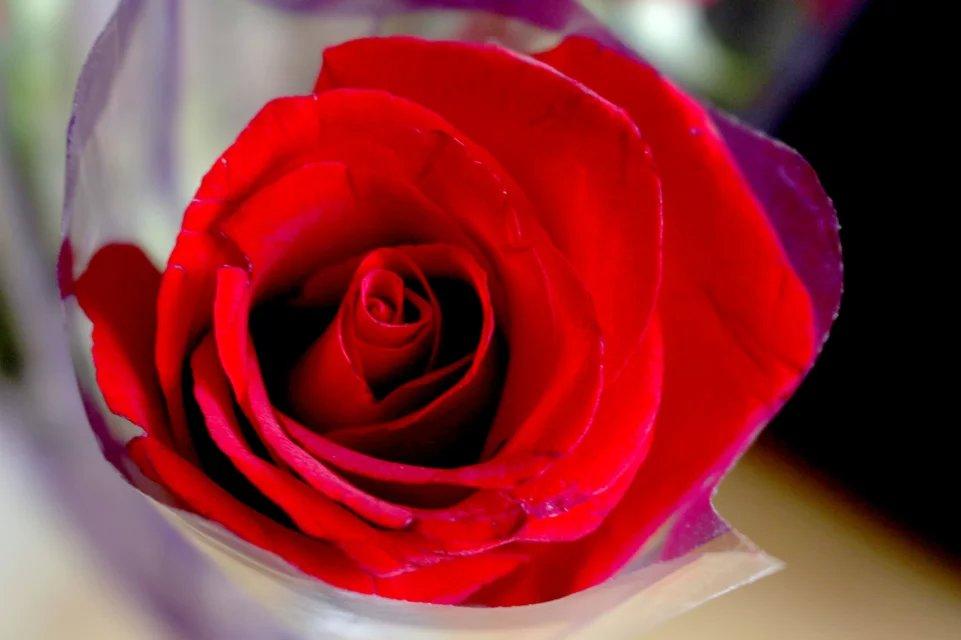 玫瑰花 大图