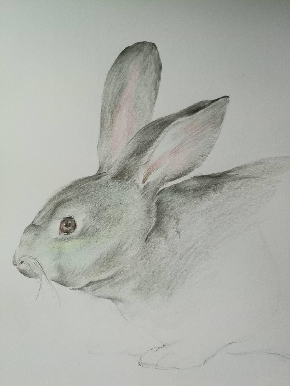 彩铅手绘《兔子》