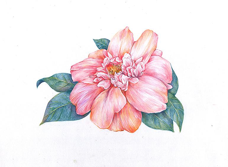 彩铅花卉图片