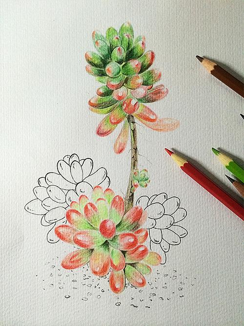 虹之玉-多肉植物
