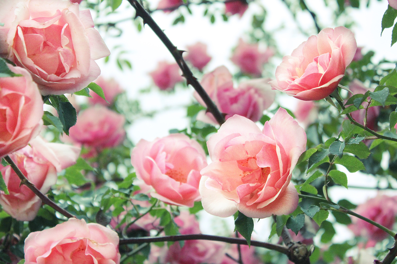 手心的蔷薇歌谱简谱