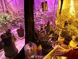 北京海淀网友又立功!举报毒窝自建温室,花盆里种大麻