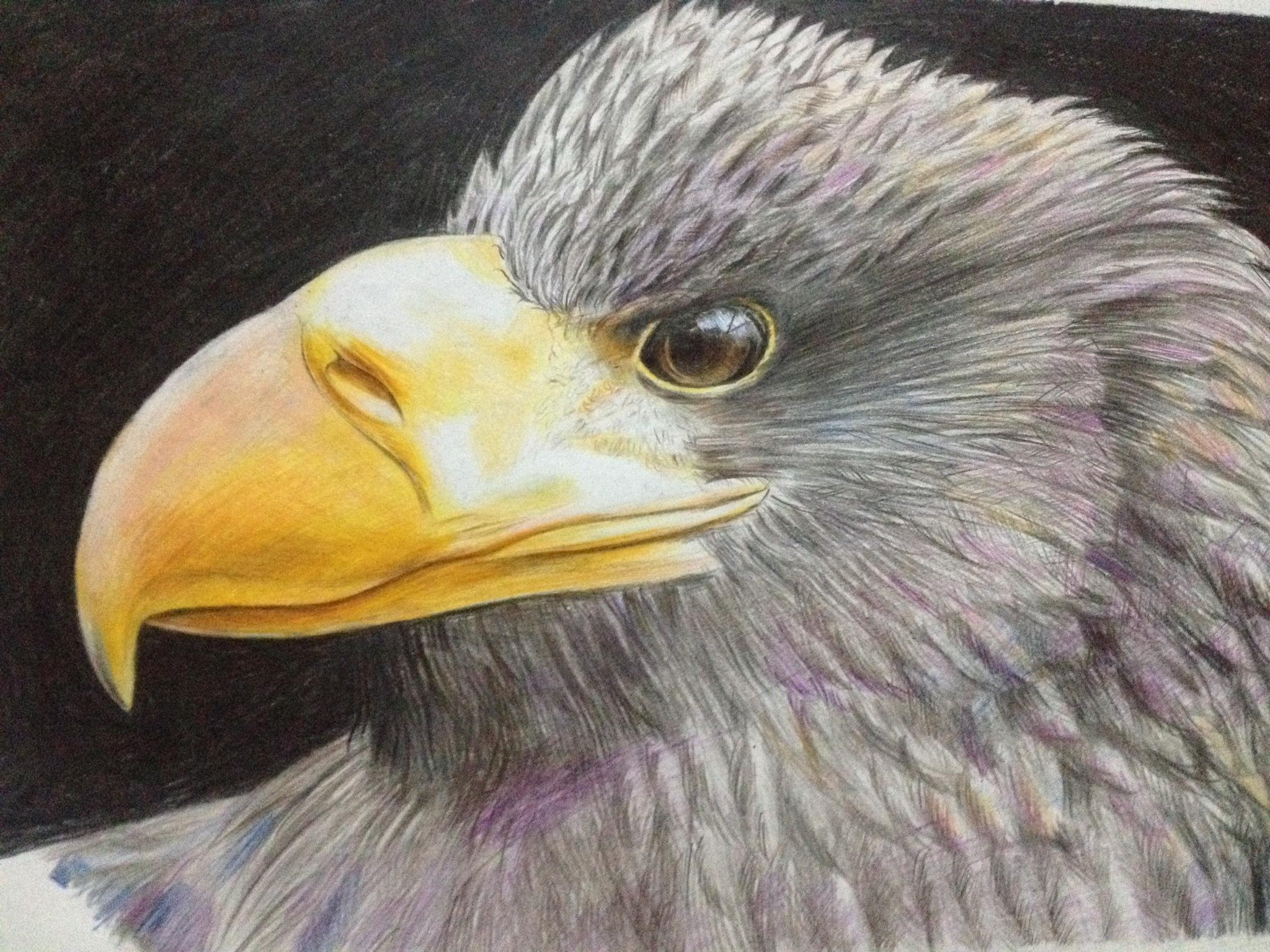 【彩铅】鹰