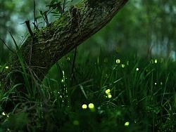 萤火虫-森林里的精灵