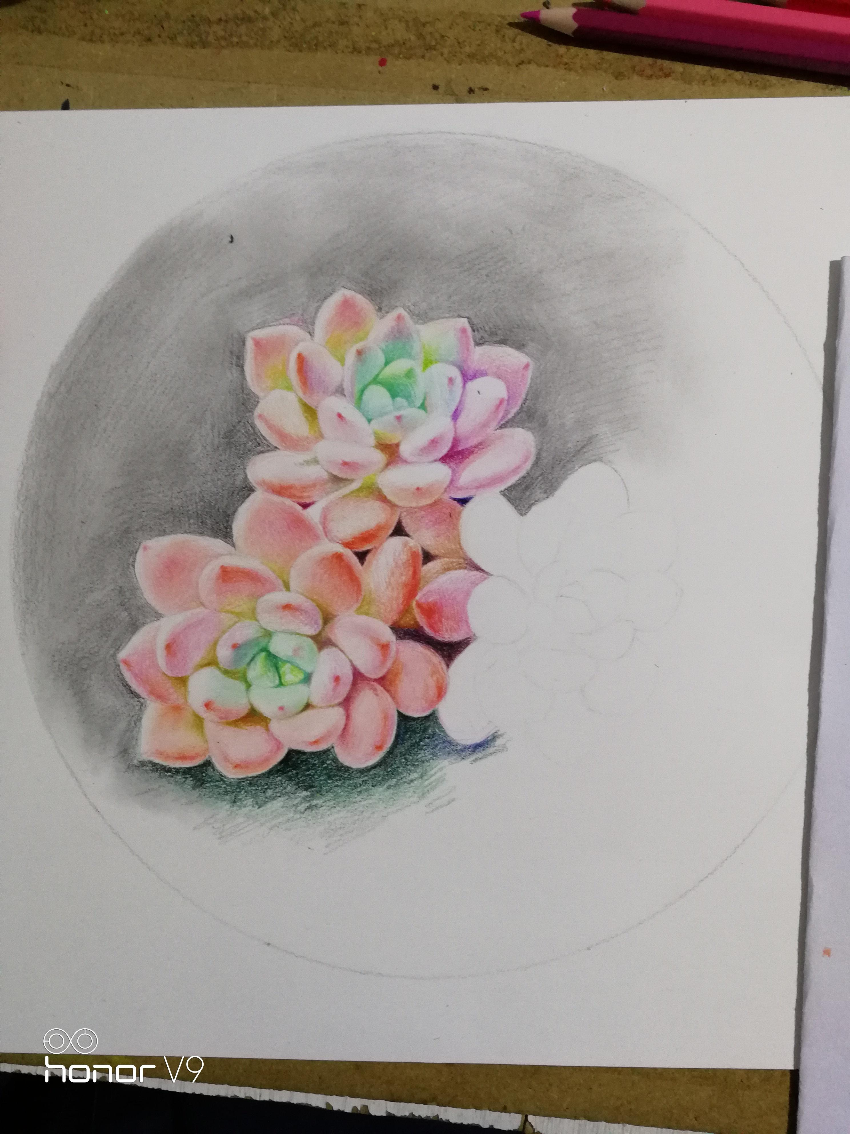 彩铅多肉植物《桃美人》
