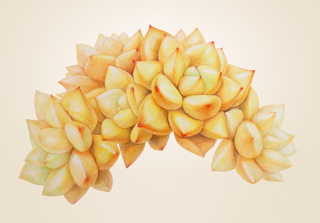 手绘多肉植物——《黄金象牙》|纯艺术|彩铅|鸩山