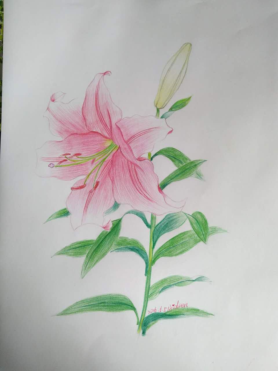 彩铅,手绘彩铅,百合花