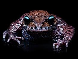 中国动物·两爬之美丨峨眉髭蟾 & 黑眼睑纤树蛙