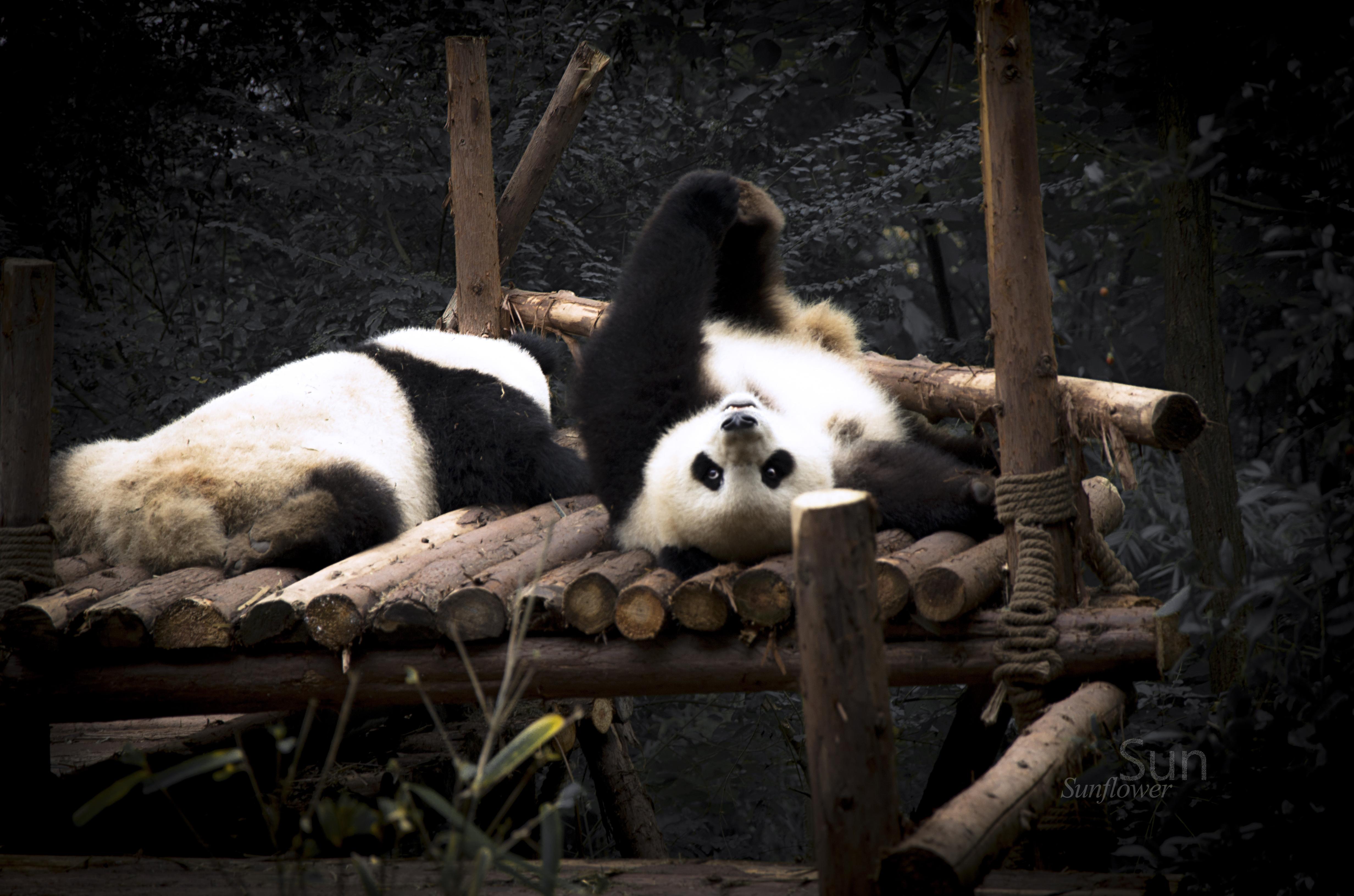 圆滚滚 . 萌神国宝大熊猫