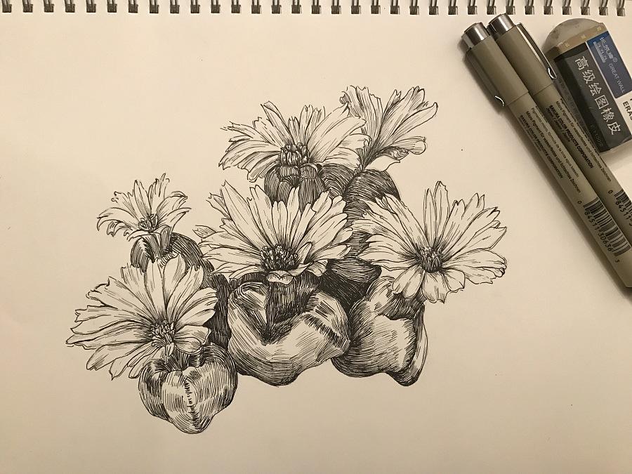 针管笔黑白插画 多肉植物 生石花