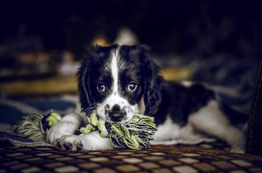 小小史宾格|宠物\/动物|摄影|大拧巴 - 原创设计作