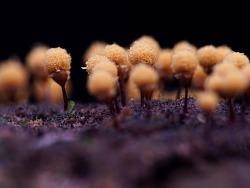 【黏菌】一毫米微小的大视野