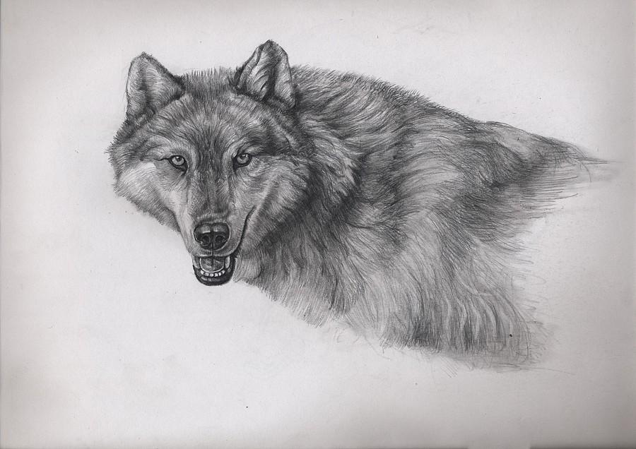 狼 黑白 素描