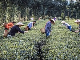 五玄土丨摘茶 忆回茶香