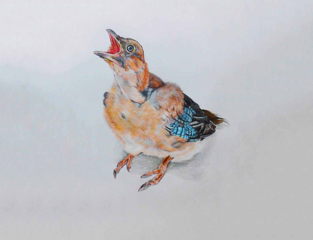 彩铅鸟类手绘——松鸦02