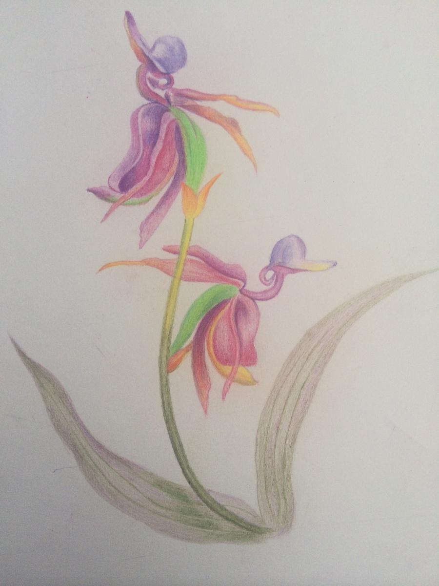 原创作品:彩铅手绘花卉