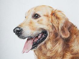 彩铅狗狗-金毛