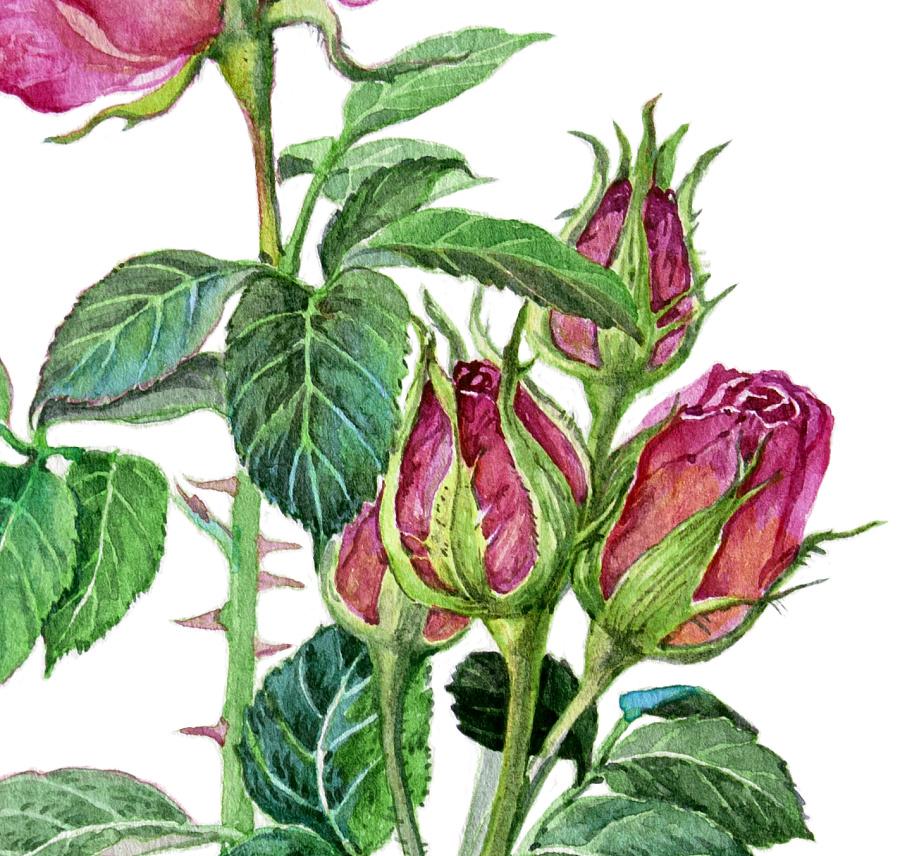 几种植物花卉的水彩画步骤 商业插画 插画 吉里