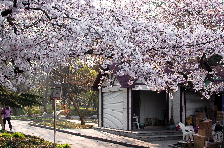 青岛中山公园樱花