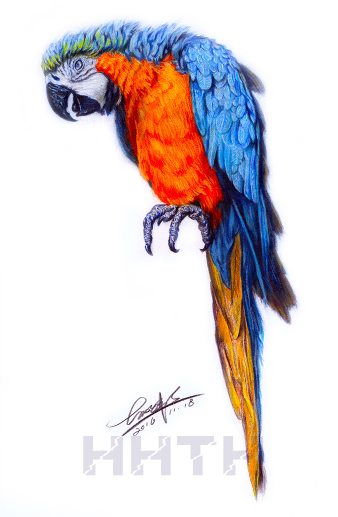 彩铅画-《鹦鹉》