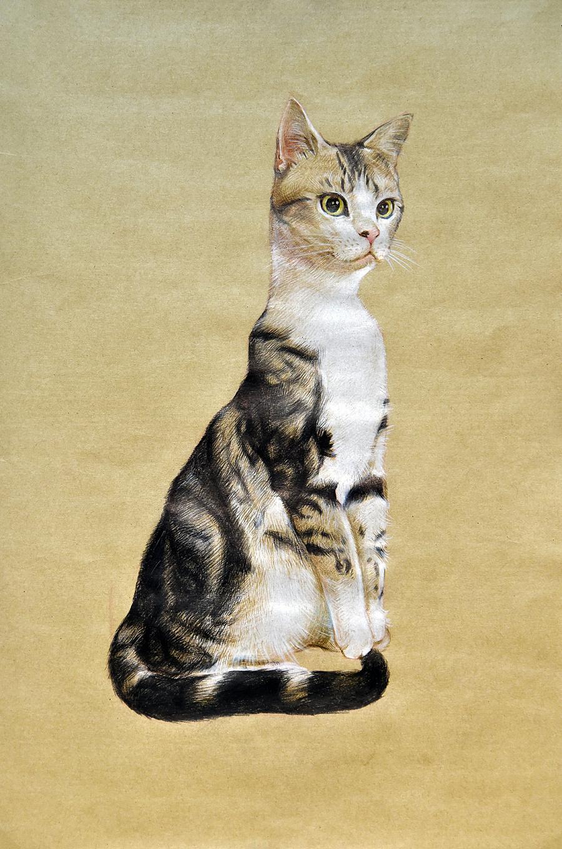 彩铅手绘-加白美国短毛猫-甜甜|绘画习作|插画