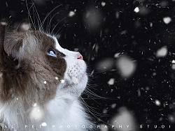 一只布偶猫。