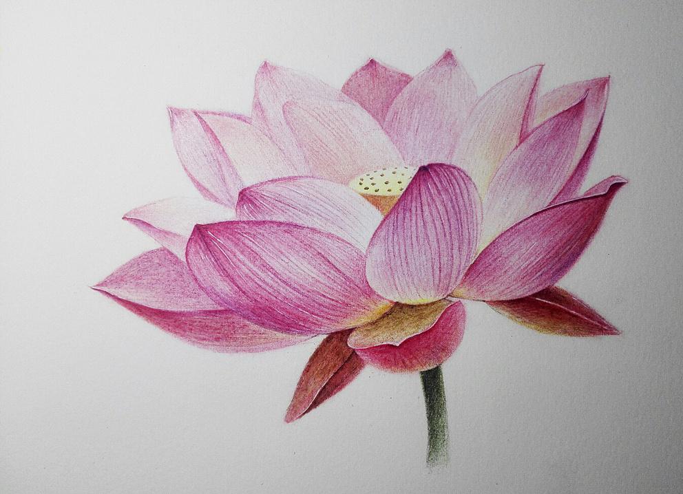 花卉~荷花|纯艺术|彩铅|昱兰 - 原创作品 - 站酷