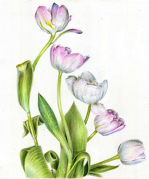 彩铅 花卉图片