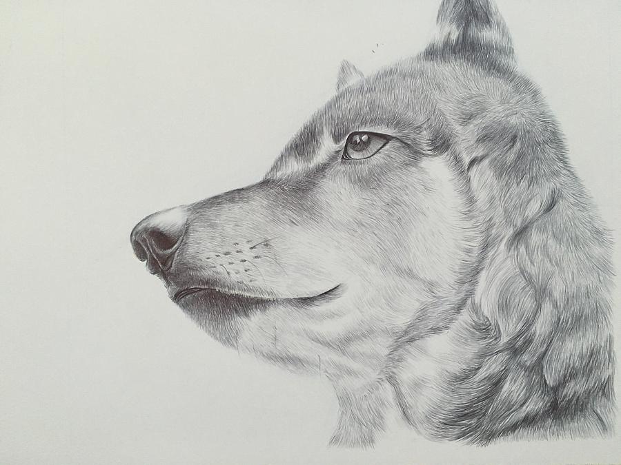 素描狼步骤图