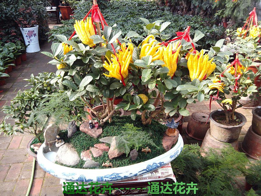 佛手盆栽图片欣赏