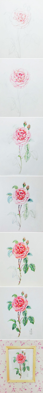 月季花彩铅画|绘画习作|插画|班小妞