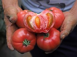 丑番茄,长得丑活得久,好吃有味的番茄