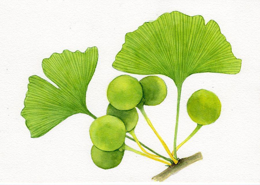 水彩画-练习的花卉 叶子 玫瑰花 康乃馨 杏叶图片