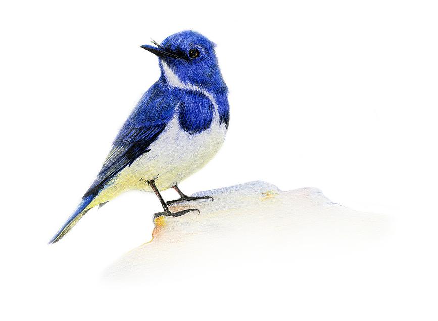 手绘彩铅小鸟