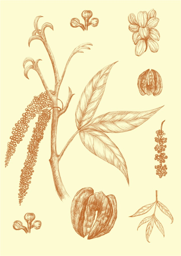 植物插画|插画|商业插画|vania2014 - 原创作品